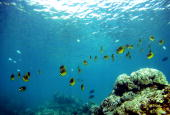 A school of fish pass over a coral reef at Hanauma Bay on January 15 2005 in Honolulu Hawaii Many coral reefs are dying from water pollution dredging...
