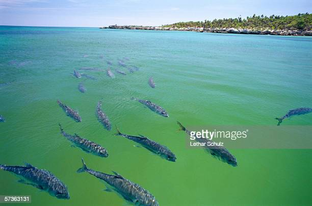 School of fish swimming in wildlife reserve, Xel-Ha, Mexico