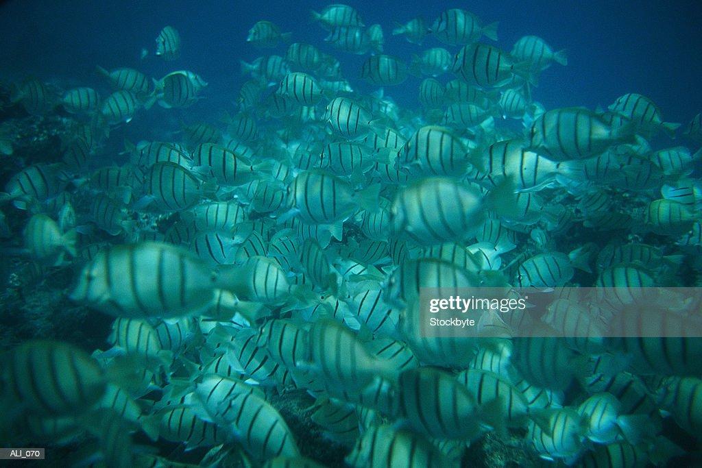 School of fish swimming : Stock Photo