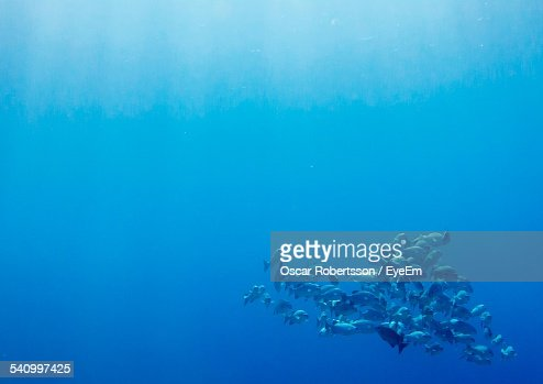School Of Fish Swimming Under Blue Sea