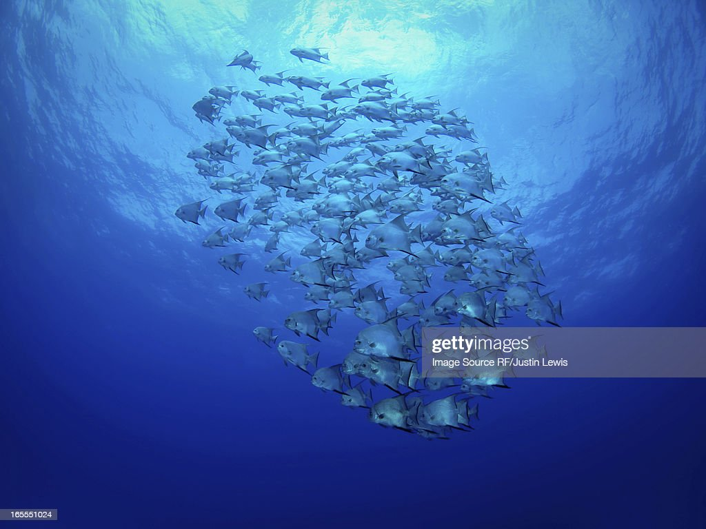 School of fish swimming underwater : Stock Photo