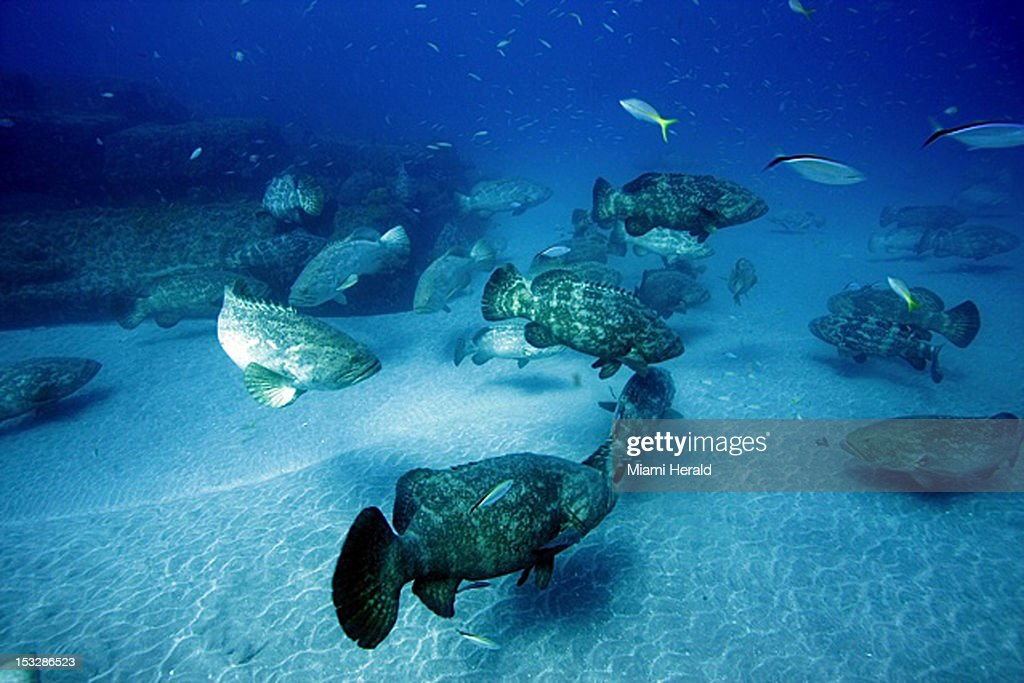 A school of Goliath grouper hovers near the sea bottom at one of the sunken wrecks off Jupiter, Florida during their spawning season.