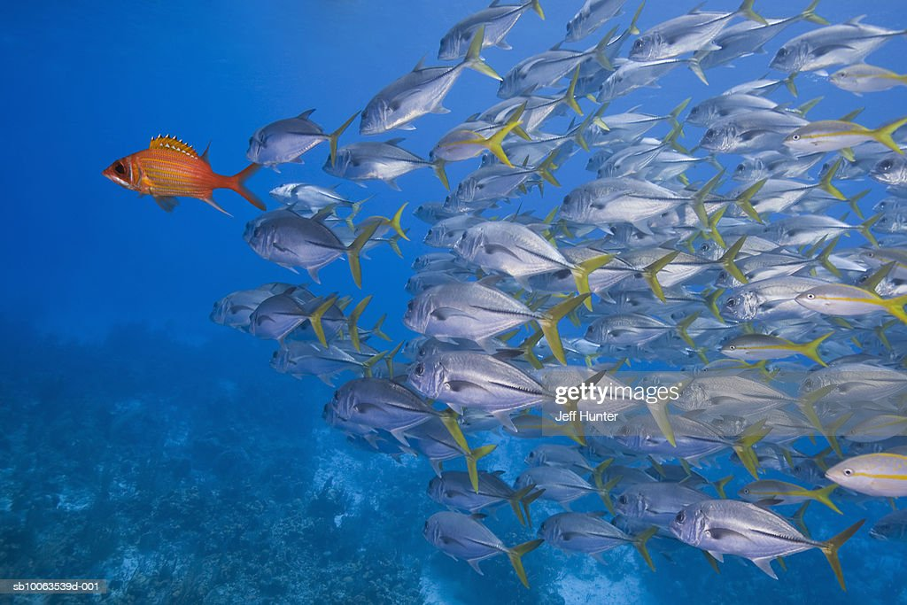 School of Horse-Eye Jacks following Longjaw Squirrelfish, underwater shot : Stock Photo