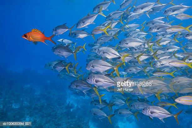 School of Horse-Eye Jacks following Longjaw Squirrelfish, underwater shot