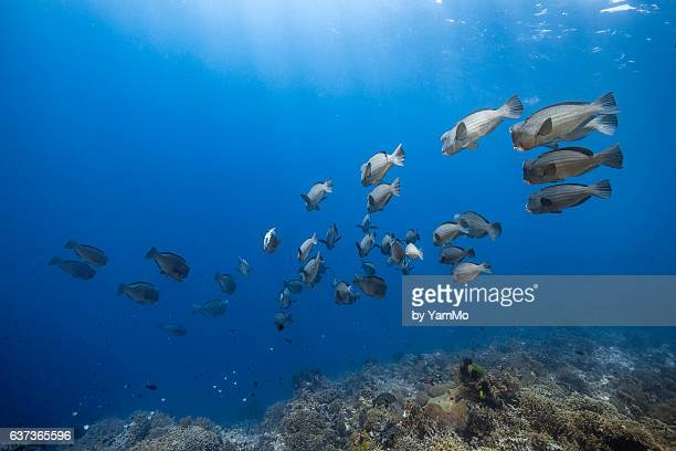 School of humphead parrot fish in the crystal clear water