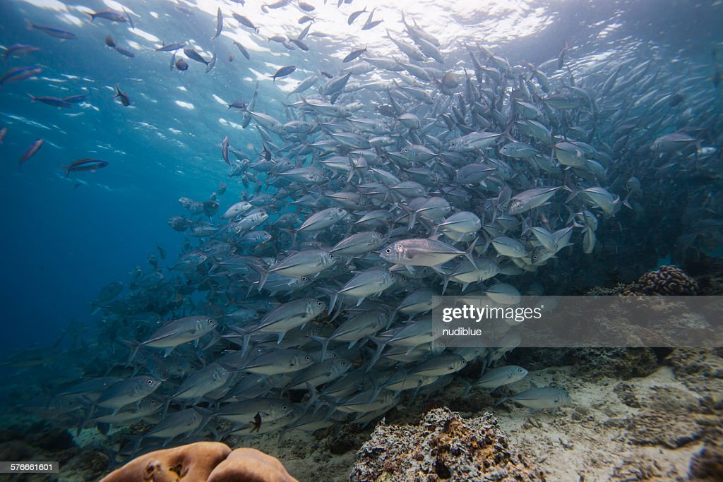 School of jack fish