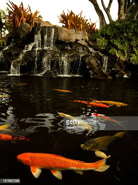 School of Koi Fish Swimming in a Pond with Waterfall.
