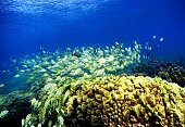 A school of manini fish pass over a coral reef at Hanauma Bay on January 15 2005 in Honolulu Hawaii Many coral reefs are dying from water pollution...
