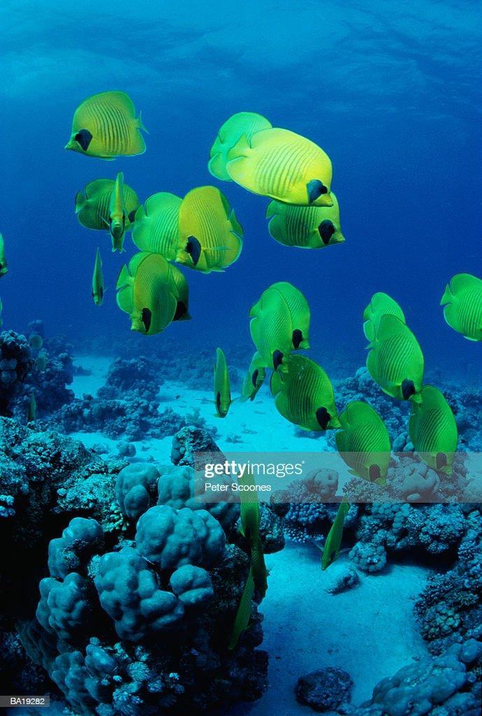 School of masked butterflyfish (Chaetodon semilarvatus) : Stock Photo