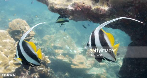 School of Moorish Idol Fish (Zanclus cornutus) on Fragile Coral Reef Ecosystem Ocean Environment.  Koh Haa dive site, Andaman Sea, Krabi, Thailand.