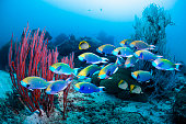School of parrotfish over coral reef