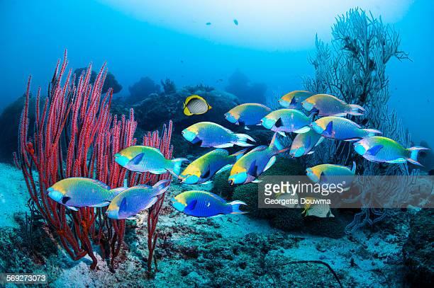 School of parrotfish over coral reef