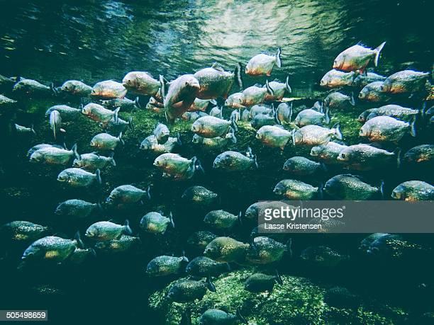 School of piranhas