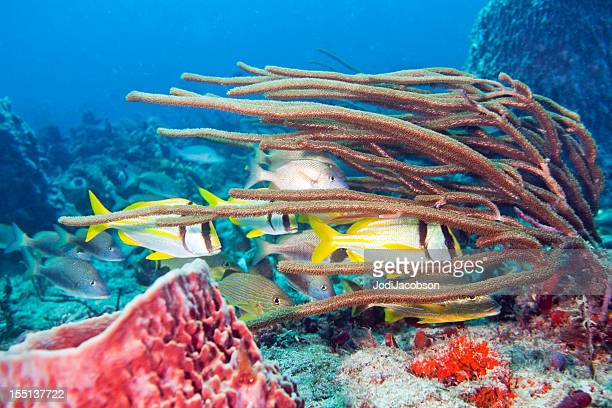 School of Porkfish, Anisotremus virginicus
