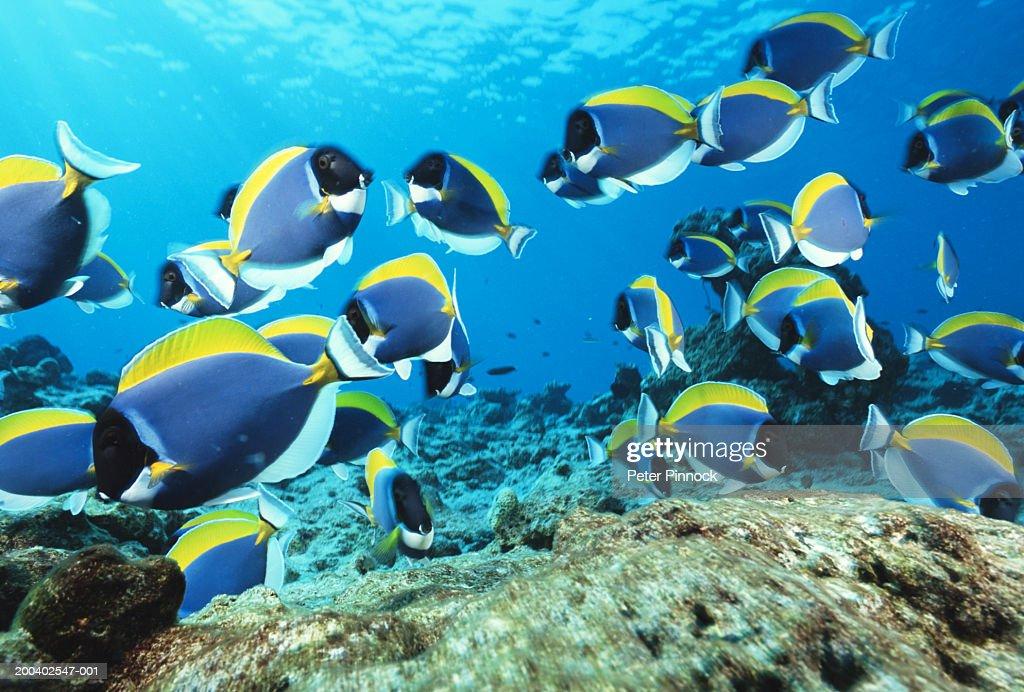 School of powder-blue surgeonfish (Acanthurus leucostemon) : Stock Photo