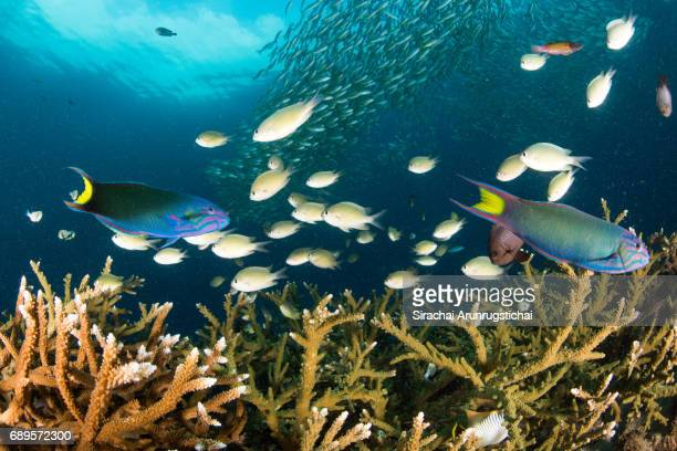 School of reef fishes swim over colourful coral reef