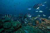 School of sergeant major fish at The Bistro dive site in Fiji.