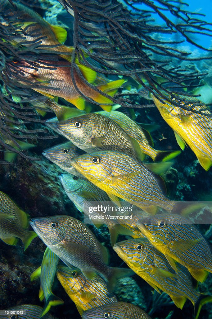 School of Striped Grunts : Stock Photo