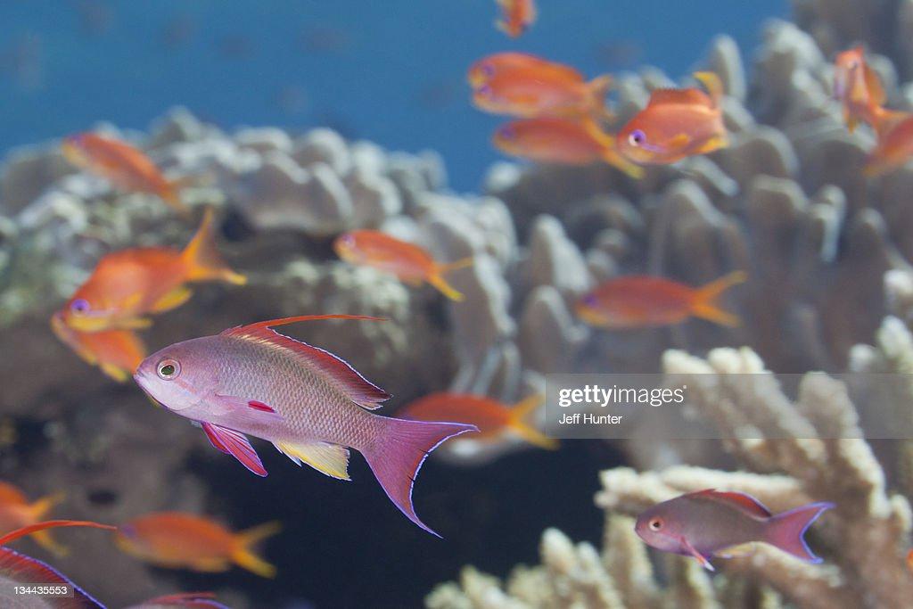 School of tropical fish (Anthias) on coral reef