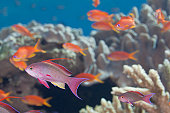 School of tropical fish (Anthias) on coral reef