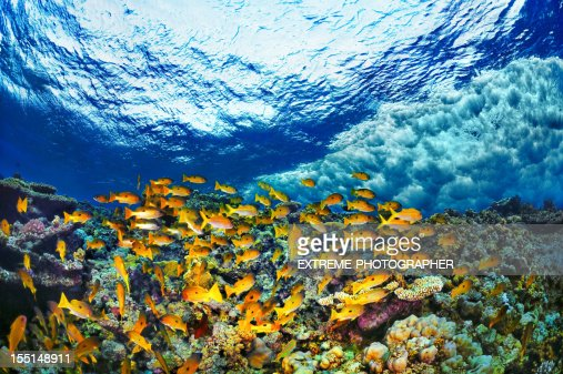 School Of Yellow Fishes