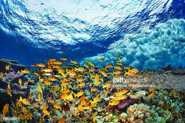 Schule der Fische Gelb