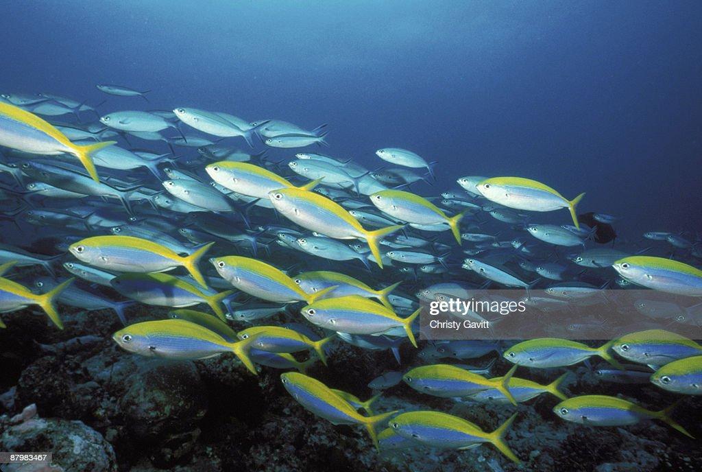 School of yellow striped fish : Stock Photo