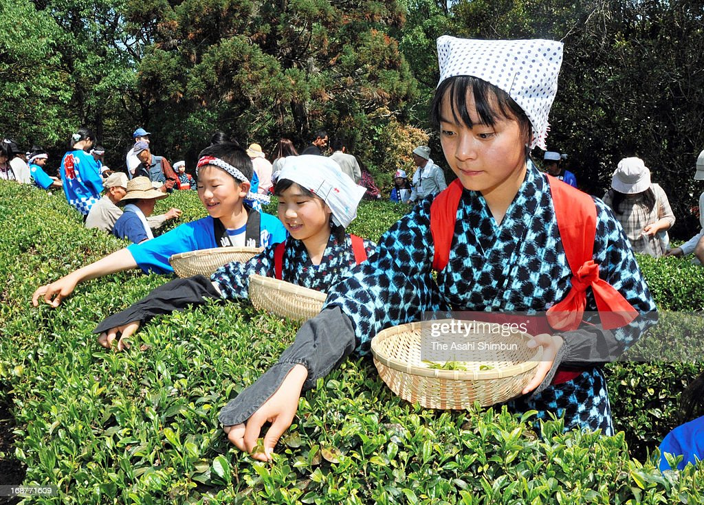 School puipls in traditional tea picking costumes participate the hearvest of the first tea leaves of the season at a tea garden on May 14, 2013 in Yakage, Okayama, Japan.