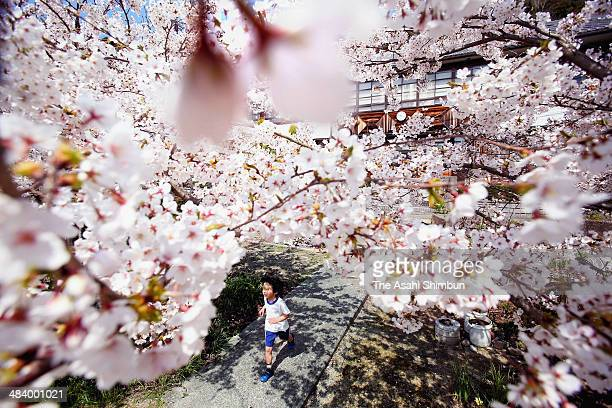 A school pupils runs under fullybloomed cherry blossoms at Okishima Elementary School on April 11 2014 in Omihachiman Shiga Japan The school is...