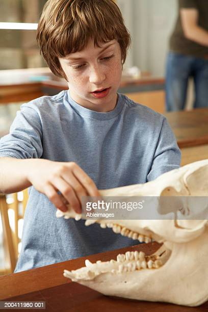 Schoolboy (11-13) in classroom opening jaws of model animal skull