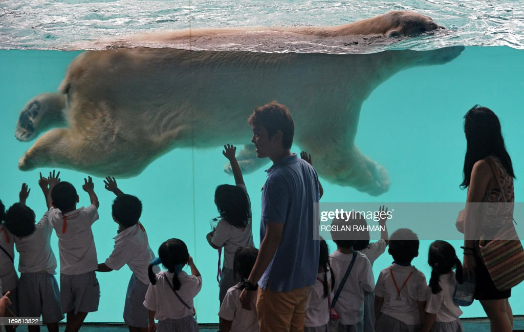 Schoolchildren watch as 'Inuka' a male polar bear swims in its pool enclosure at the Singapore Zoo on May 29 2013 The 22yearold polar bear the first...