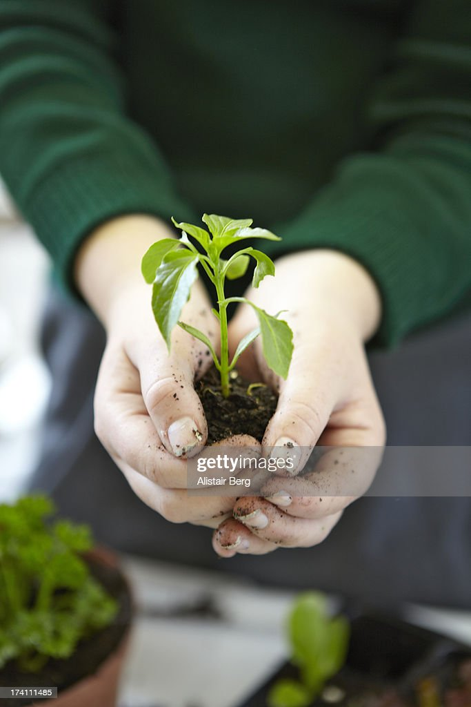 Schoolgirl holding a vegetable seedling : Stock Photo