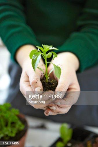 Schoolgirl holding a vegetable seedling : Stock Photo