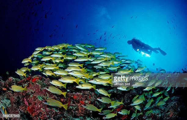schooling Bluestripe Snappers and Diver Lutjanus kasmira Maldives Indian Ocean Meemu Atoll
