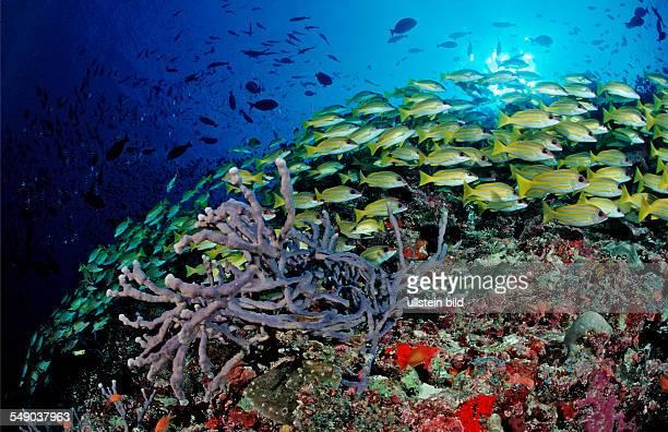 schooling Bluestripe Snappers Lutjanus kasmira Maldives Indian Ocean Meemu Atoll