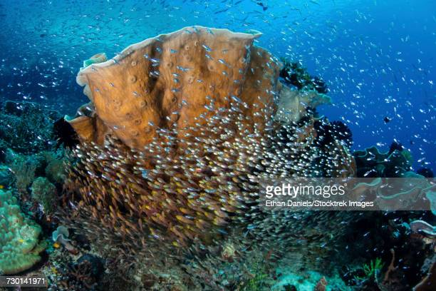 Schooling cardinalfish and sweepers on a beautiful reef in Raja Ampat, Indonesia.