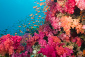 Schooling Fairy Basslets (Pseudanthias squamipinnis) among coral