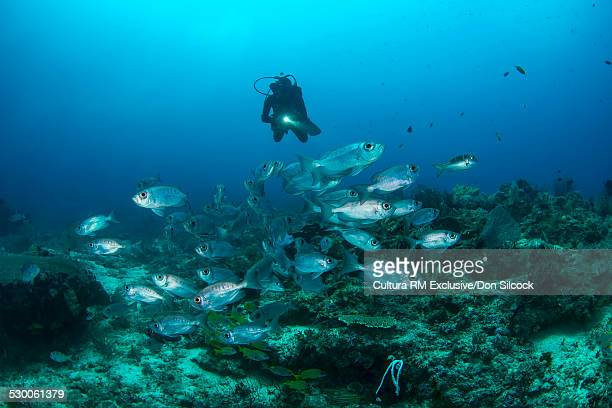 Schooling fish and diver at Blue Magic in the Dampier Strait, Raja Ampat, West Papua, Indonesia