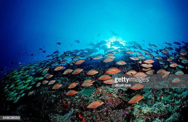 schooling Humpback Snappers and Bluestripe Snappers Lutjanus kasmira Lutjanus gibbus Maldives Indian Ocean Meemu Atoll