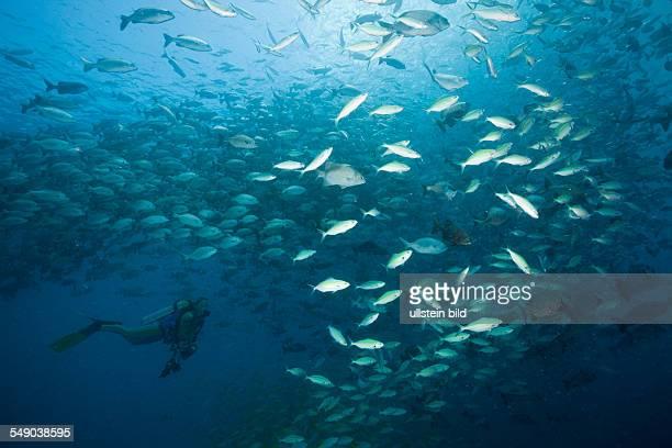 Schooling Rudderfish and Goldbanded Fusiliers Kyphosus cinerascens Caesio caerulaurea German Channel Micronesia Palau