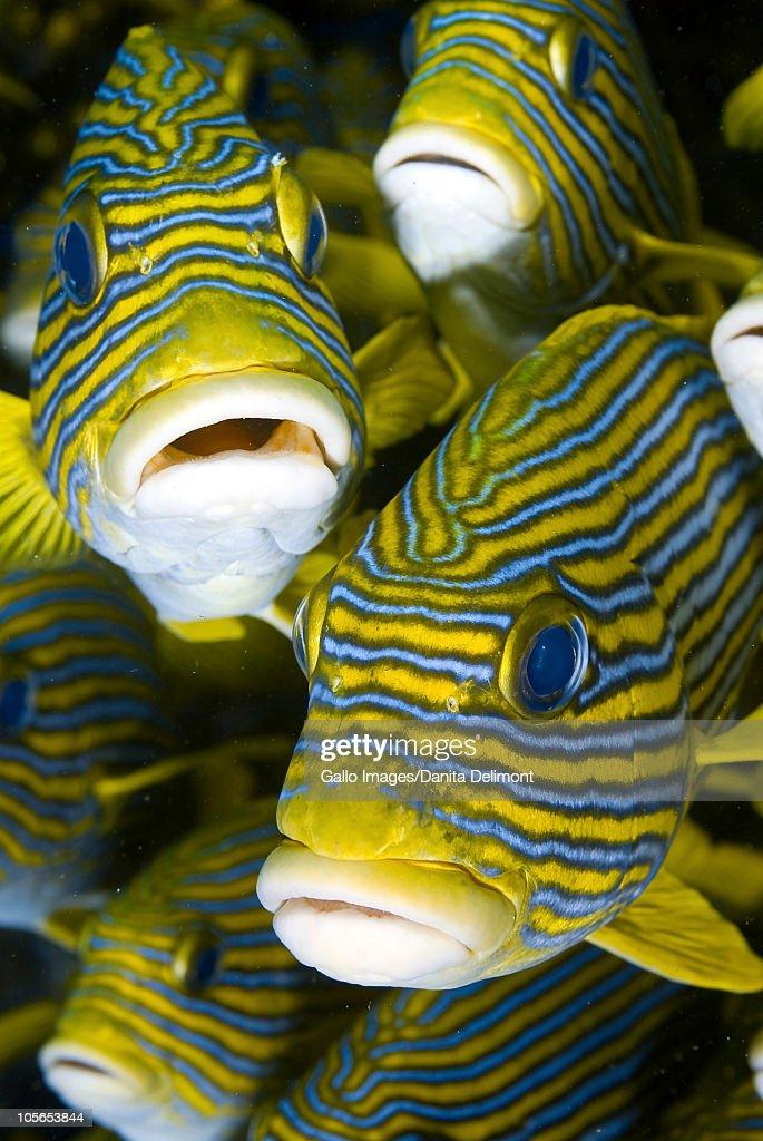 Schooling sweetlip fish, Raja Ampat Islands, Irian Jaya, West Papua, Indonesia : Stock Photo