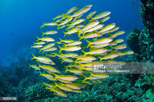 School of fish stock photos and pictures getty images for Freshwater schooling fish