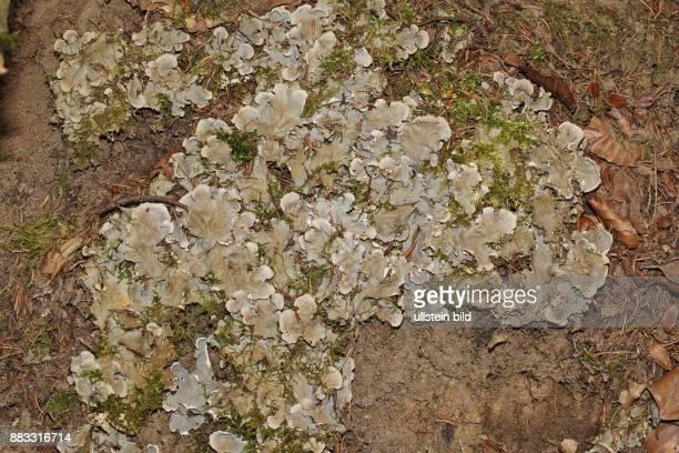 SchuppenHundsflechte mehrere hellbraune Flechten an Baumstamm