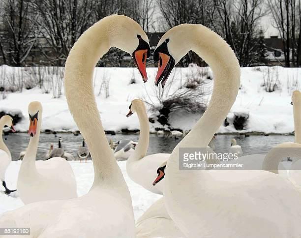 Schwan swan