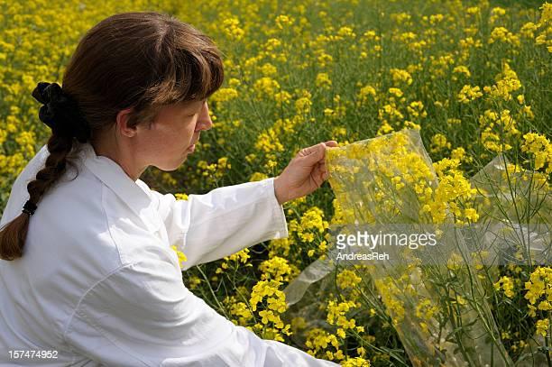 Scientific oilseed rape culture