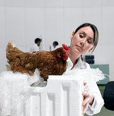 Scientist examines chicken in laboratory