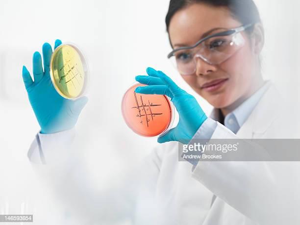 Scientist examining petri dishes