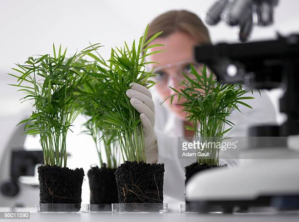 Scientist examining plants growing in petri dishes