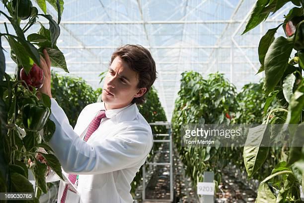Scientifique examine produire dans une serre