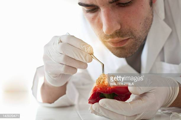 Scientist examining seeds of bell pepper